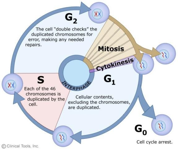 DNA Cell Cycle Mitosis And Meiosis Review ProProfs Quiz – Cell Cycle and Mitosis Worksheet Answers